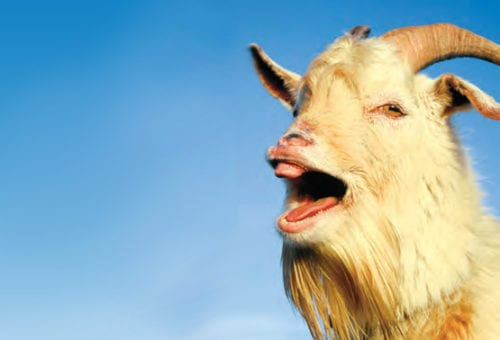 When Goat-Napping Goes Wrong